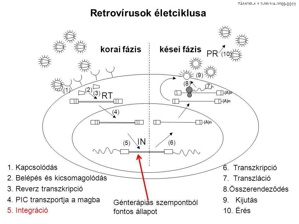 Retrovírusok életciklusa