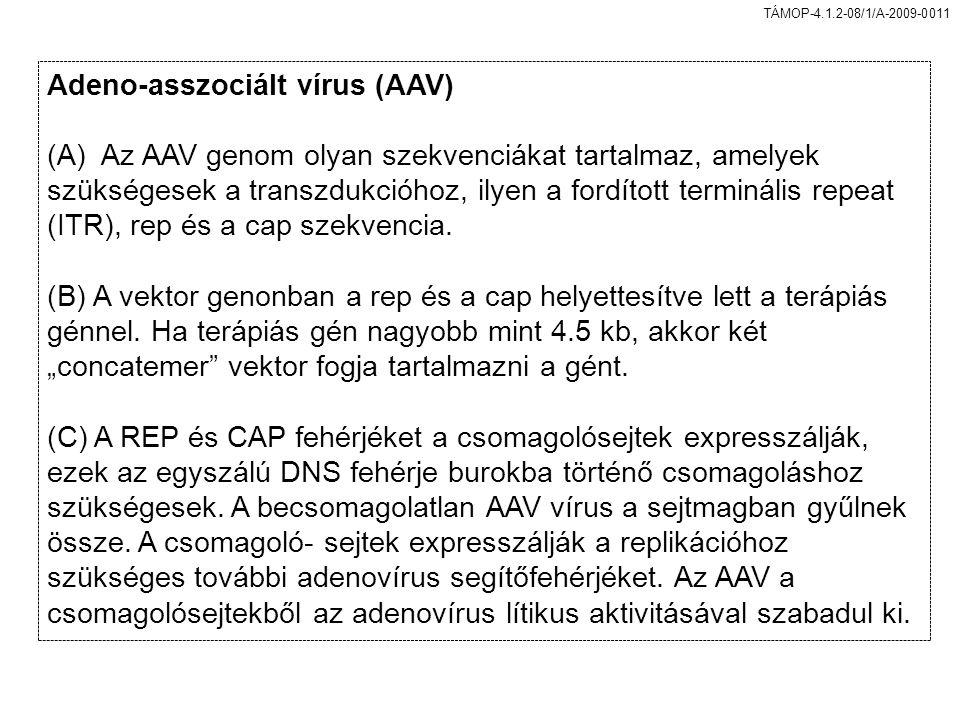 Adeno-asszociált vírus (AAV)