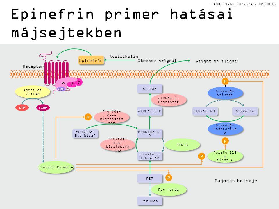 Epinefrin primer hatásai májsejtekben