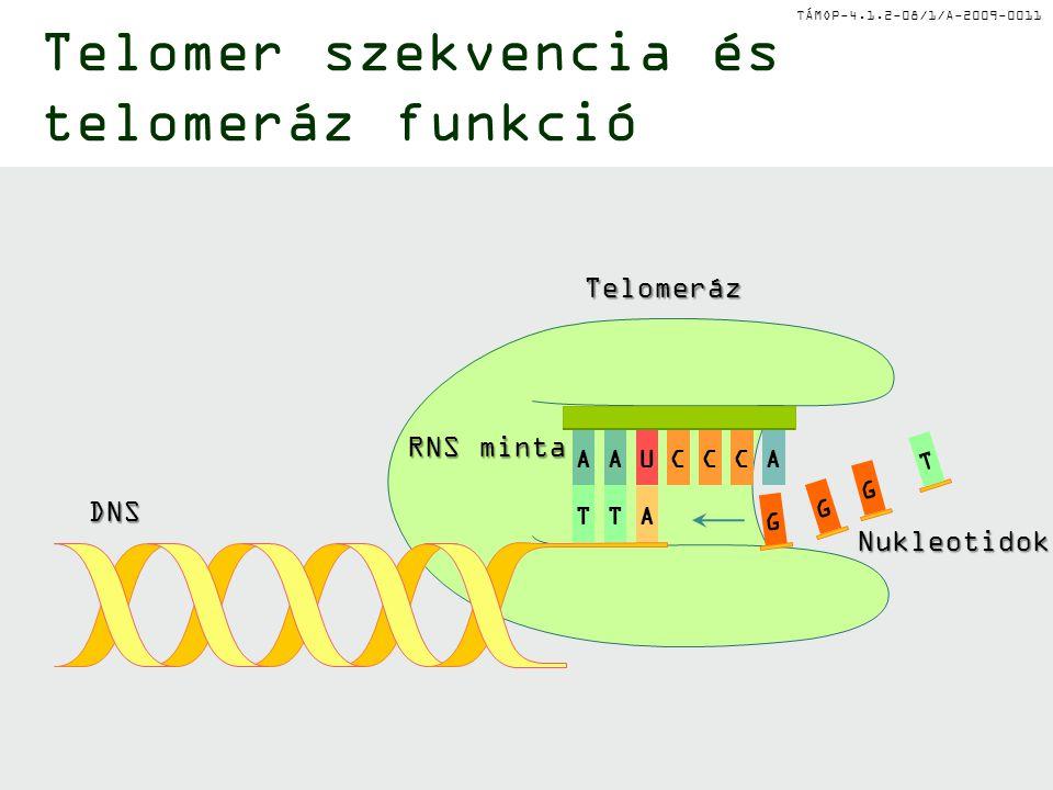 Telomer szekvencia és telomeráz funkció