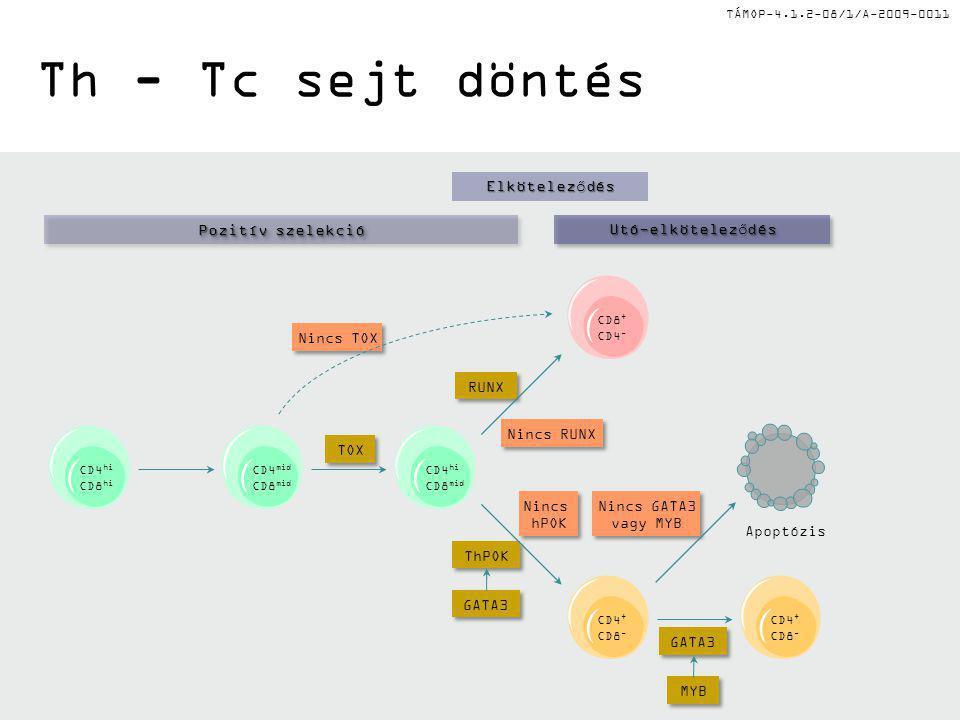 Th - Tc sejt döntés Pozitív szelekció Elköteleződés Utó-elköteleződés