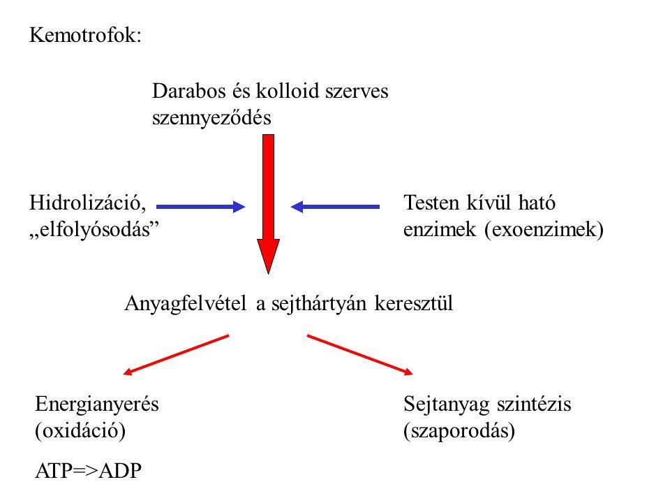 """Kemotrofok: Darabos és kolloid szerves szennyeződés. Testen kívül ható enzimek (exoenzimek) Hidrolizáció, """"elfolyósodás"""