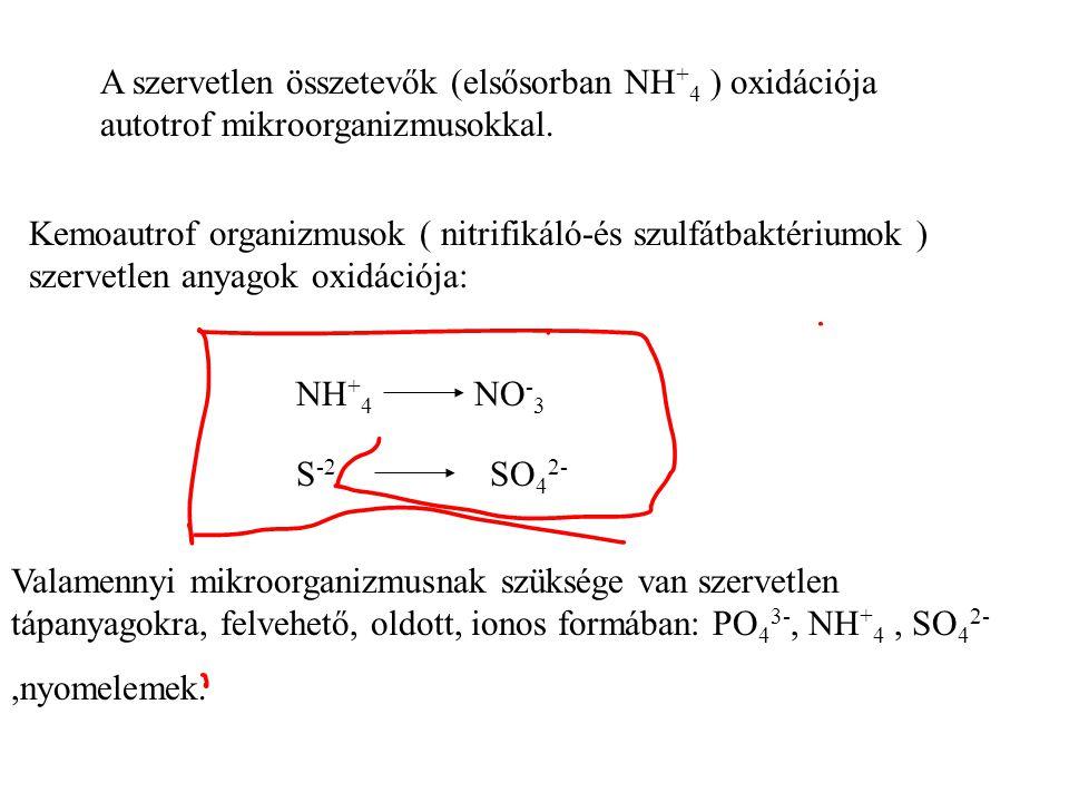 A szervetlen összetevők (elsősorban NH+4 ) oxidációja autotrof mikroorganizmusokkal.