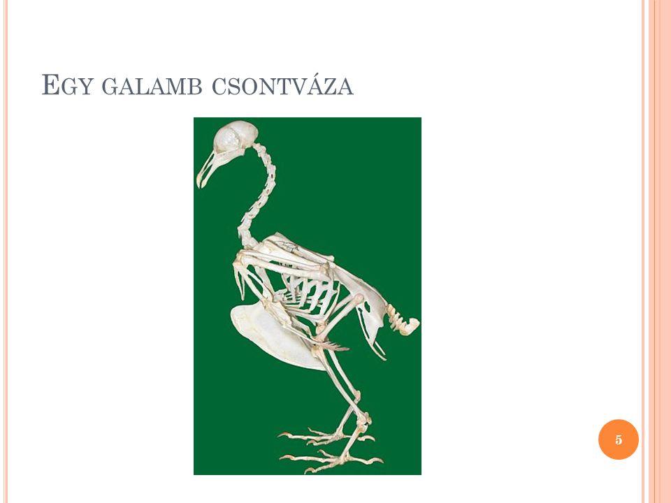 Egy galamb csontváza