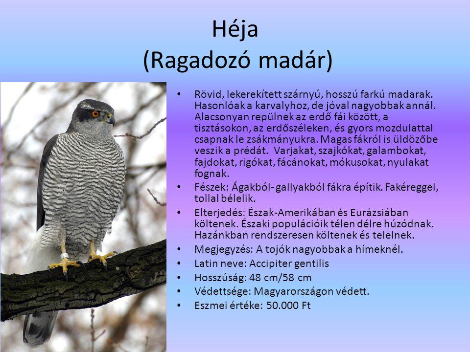 Héja (Ragadozó madár)
