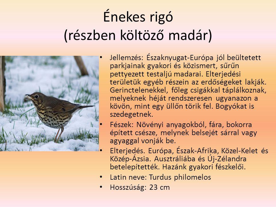 Énekes rigó (részben költöző madár)