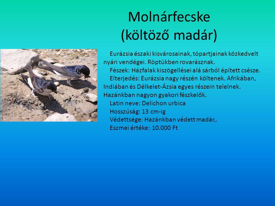 Molnárfecske (költöző madár)