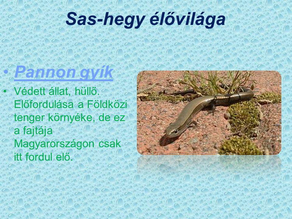 Sas-hegy élővilága Pannon gyík