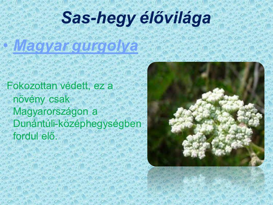 Sas-hegy élővilága Magyar gurgolya