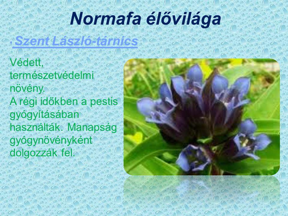 Normafa élővilága Védett, természetvédelmi növény.