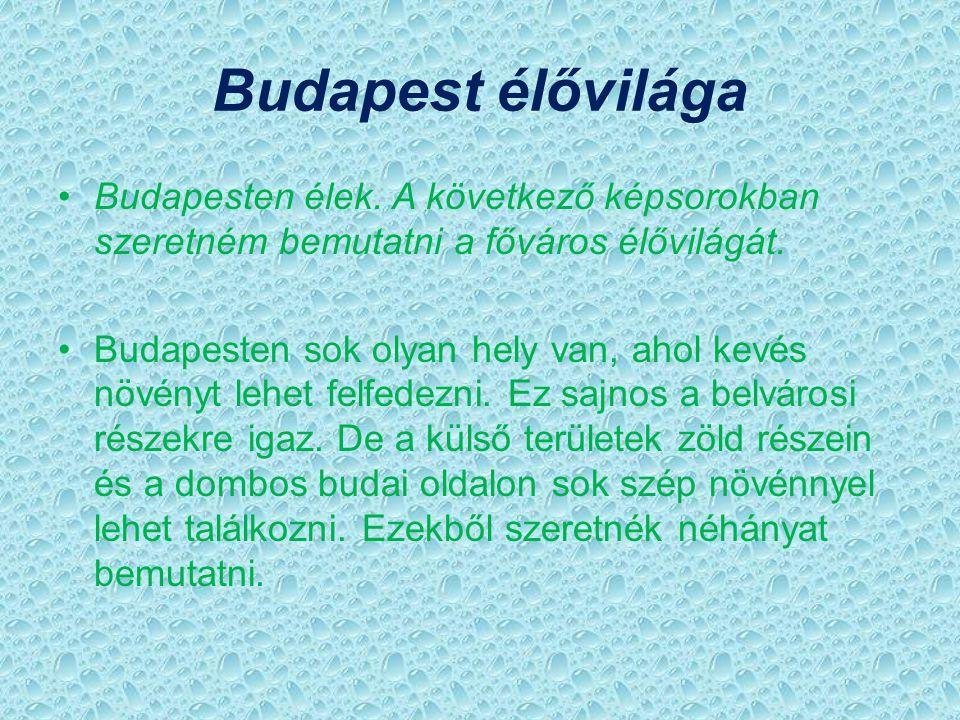 Budapest élővilága Budapesten élek. A következő képsorokban szeretném bemutatni a főváros élővilágát.