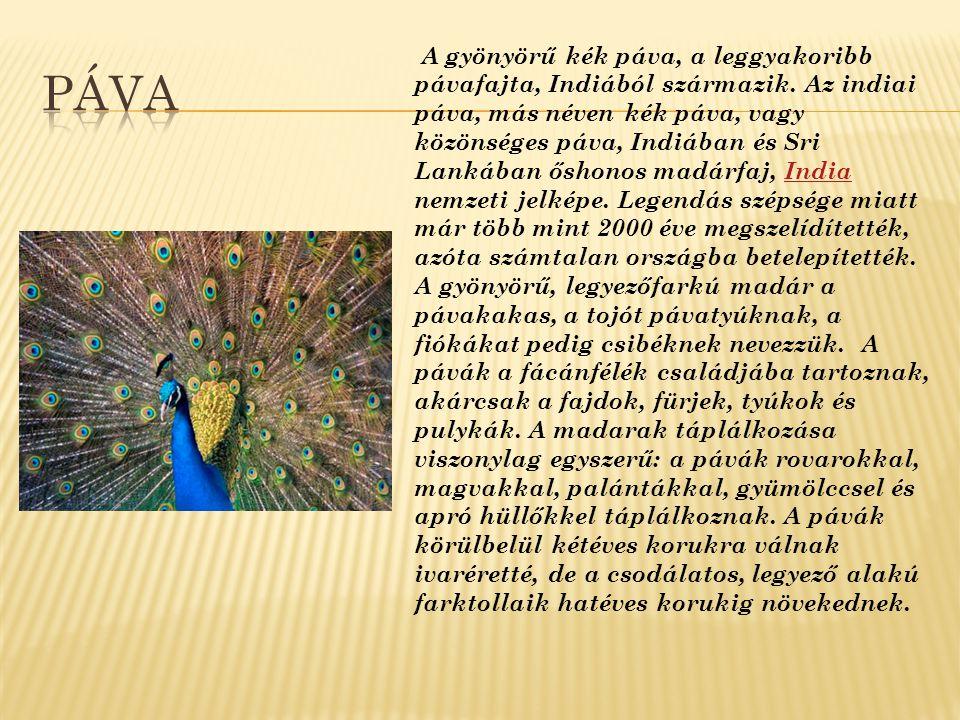 A gyönyörű kék páva, a leggyakoribb pávafajta, Indiából származik