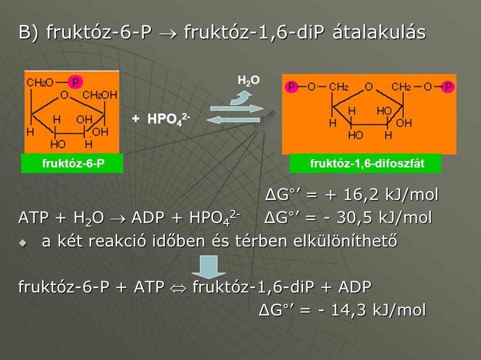 B) fruktóz-6-P  fruktóz-1,6-diP átalakulás