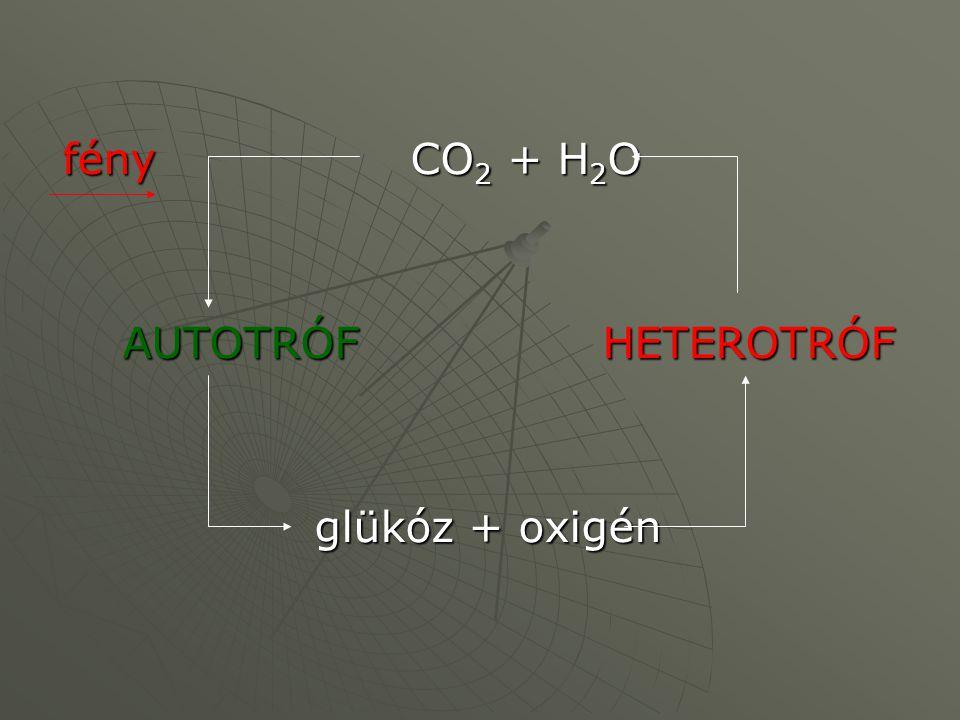 fény CO2 + H2O AUTOTRÓF HETEROTRÓF glükóz + oxigén