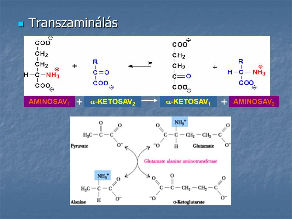 Transzaminálás + + AMINOSAV1 -KETOSAV2 -KETOSAV1 AMINOSAV2