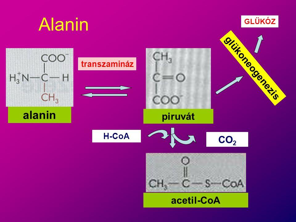 Alanin alanin glükoneogenezis piruvát CO2 acetil-CoA transzamináz