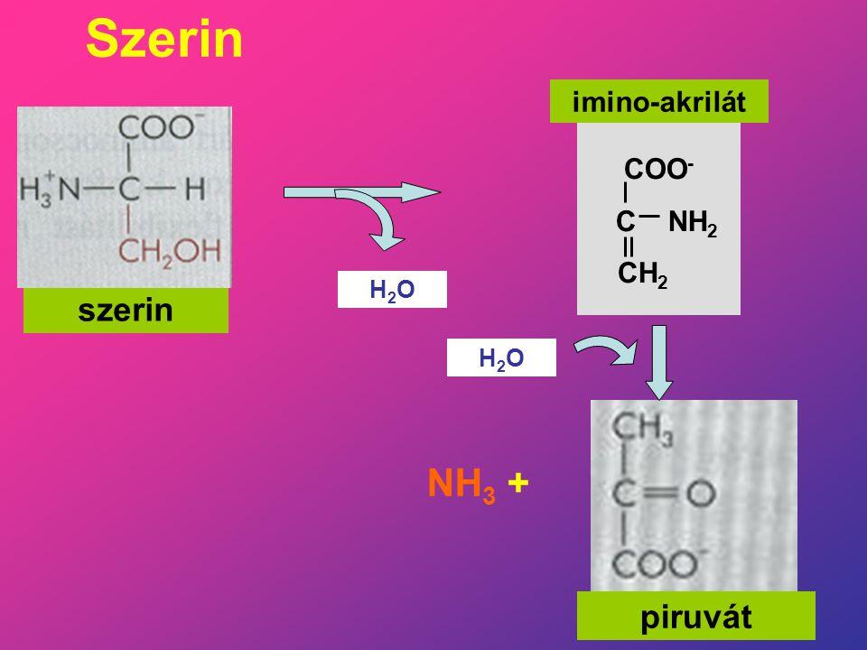 Szerin imino-akrilát COO- C NH2 CH2 H2O szerin H2O NH3 + piruvát