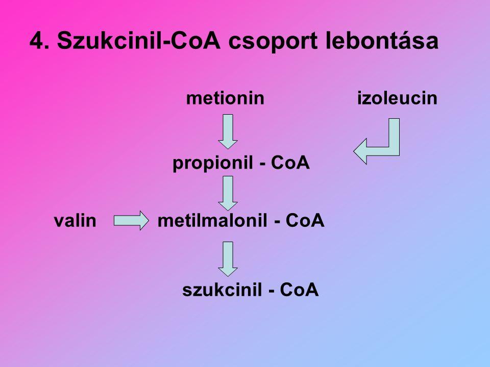 4. Szukcinil-CoA csoport lebontása