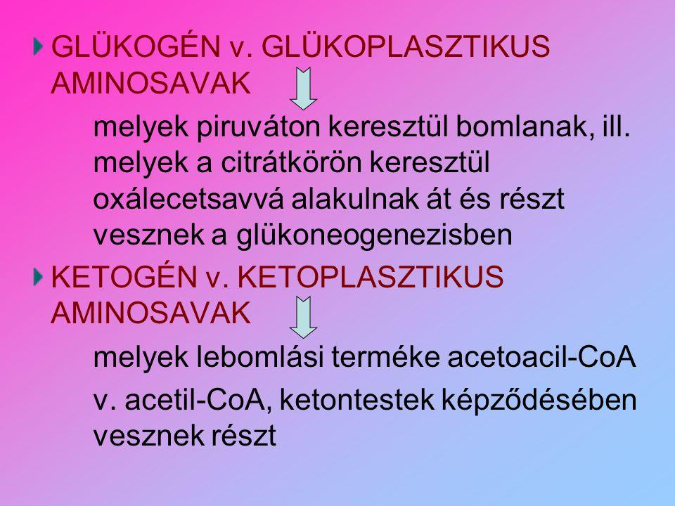 GLÜKOGÉN v. GLÜKOPLASZTIKUS AMINOSAVAK