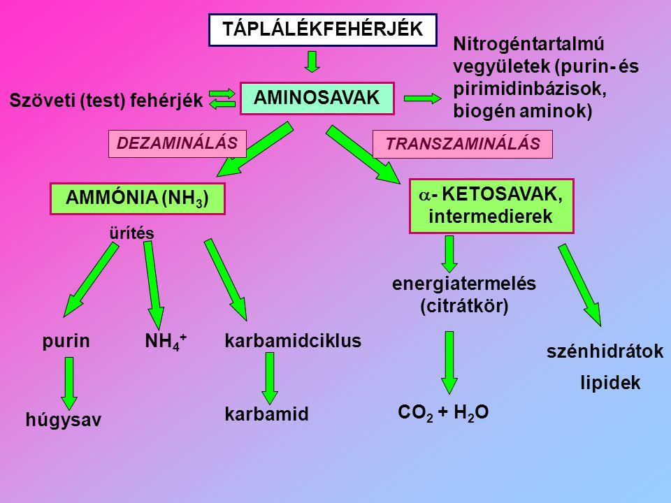 - KETOSAVAK, intermedierek energiatermelés (citrátkör)