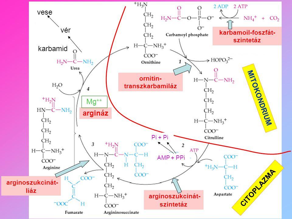 arginoszukcinát-liáz CITOPLAZMA