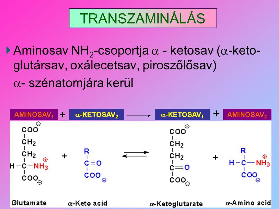TRANSZAMINÁLÁS Aminosav NH2-csoportja  - ketosav (-keto-glutársav, oxálecetsav, piroszőlősav) - szénatomjára kerül.