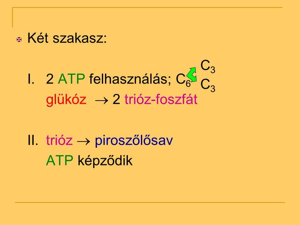 Két szakasz: I. 2 ATP felhasználás; C6. glükóz  2 trióz-foszfát. II. trióz  piroszőlősav. ATP képződik.