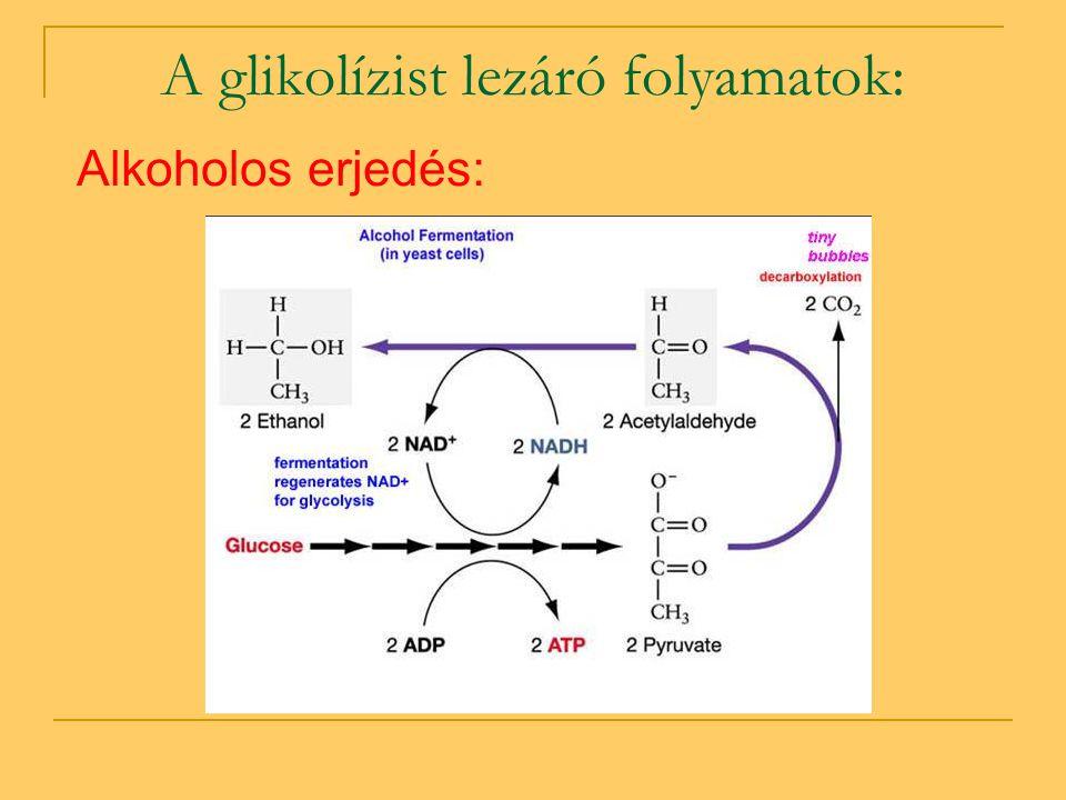 A glikolízist lezáró folyamatok: