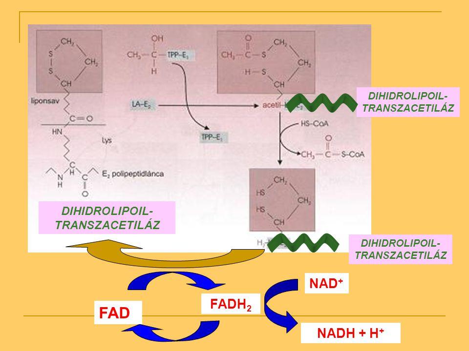FAD NAD+ FADH2 NADH + H+ DIHIDROLIPOIL-TRANSZACETILÁZ