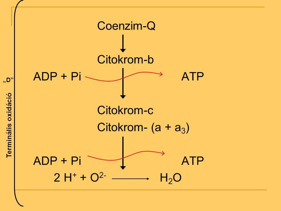 Coenzim-Q Citokrom-b ADP + Pi ATP Citokrom-c Citokrom- (a + a3)