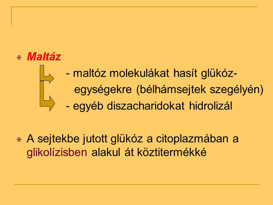 Maltáz - maltóz molekulákat hasít glükóz- egységekre (bélhámsejtek szegélyén) - egyéb diszacharidokat hidrolizál.