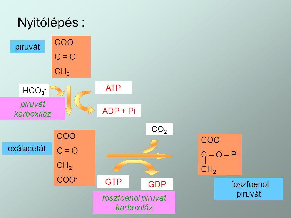 foszfoenol piruvát karboxiláz