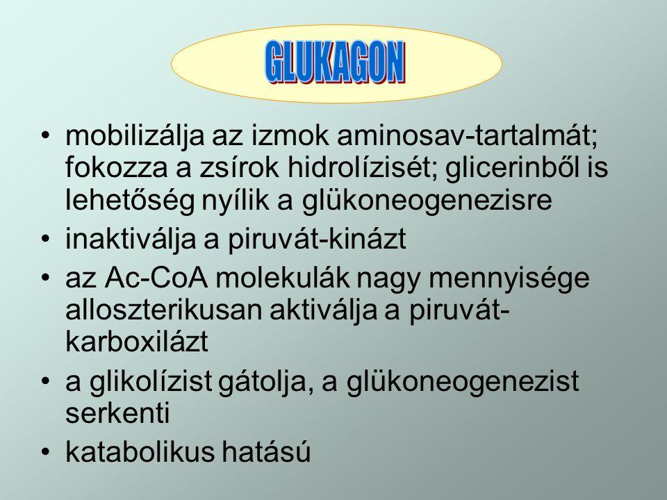 GLUKAGON mobilizálja az izmok aminosav-tartalmát; fokozza a zsírok hidrolízisét; glicerinből is lehetőség nyílik a glükoneogenezisre.