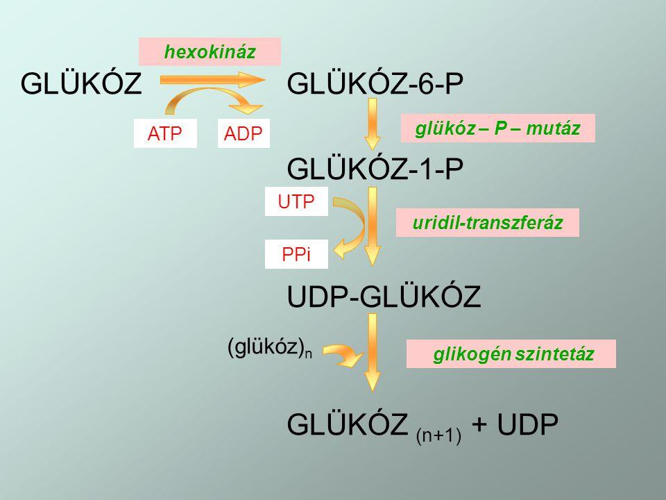 GLÜKÓZ GLÜKÓZ-6-P GLÜKÓZ-1-P UDP-GLÜKÓZ GLÜKÓZ (n+1) + UDP (glükóz)n