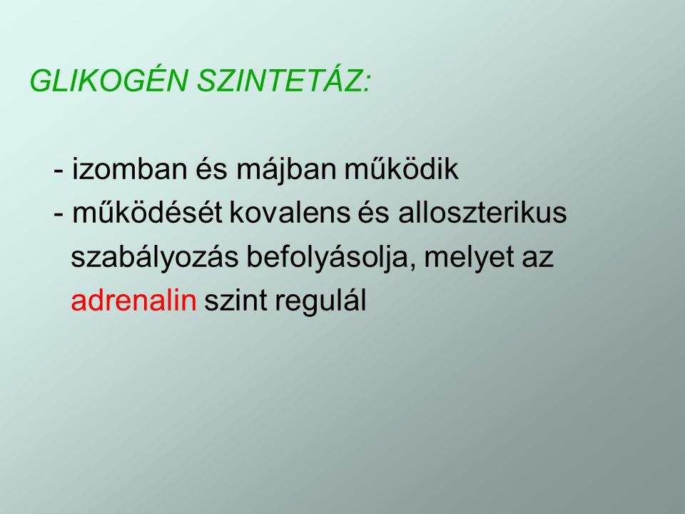 GLIKOGÉN SZINTETÁZ: - izomban és májban működik. - működését kovalens és alloszterikus. szabályozás befolyásolja, melyet az.