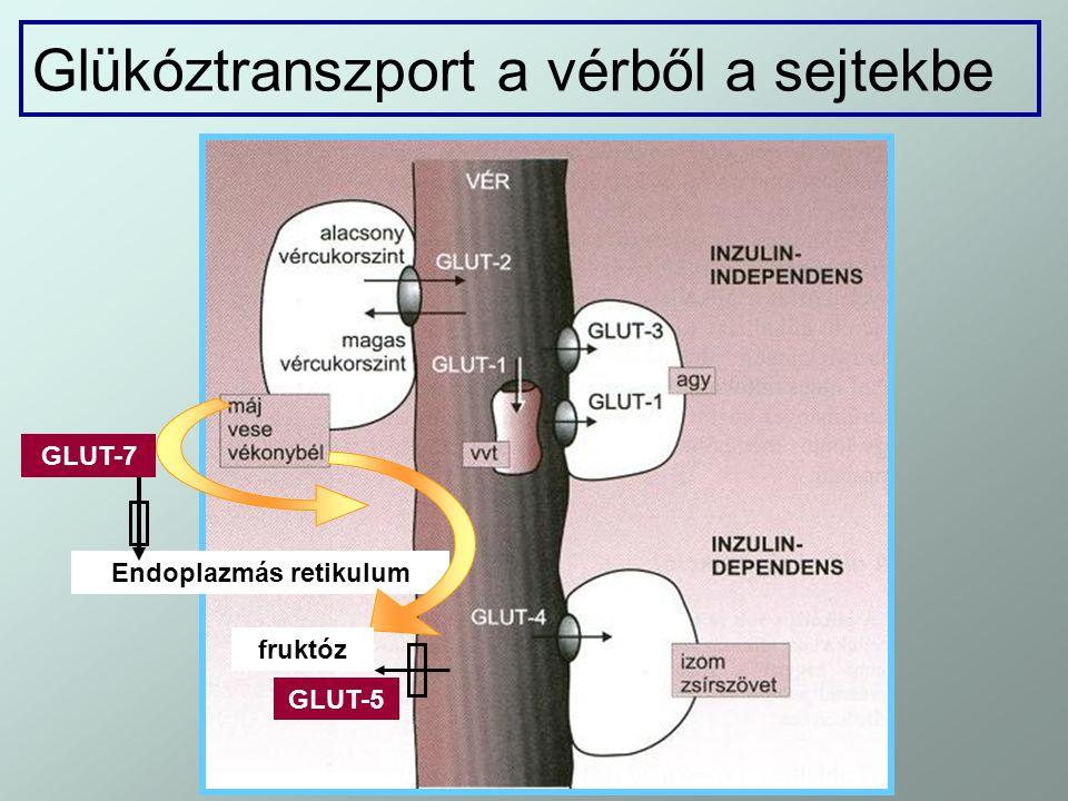 Glükóztranszport a vérből a sejtekbe