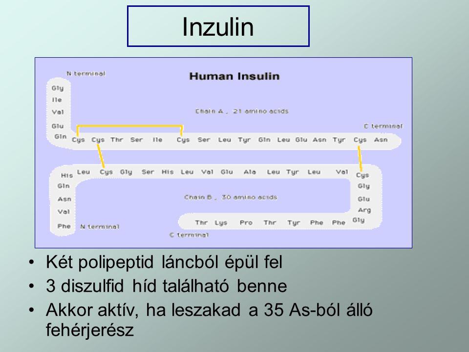 Inzulin Két polipeptid láncból épül fel