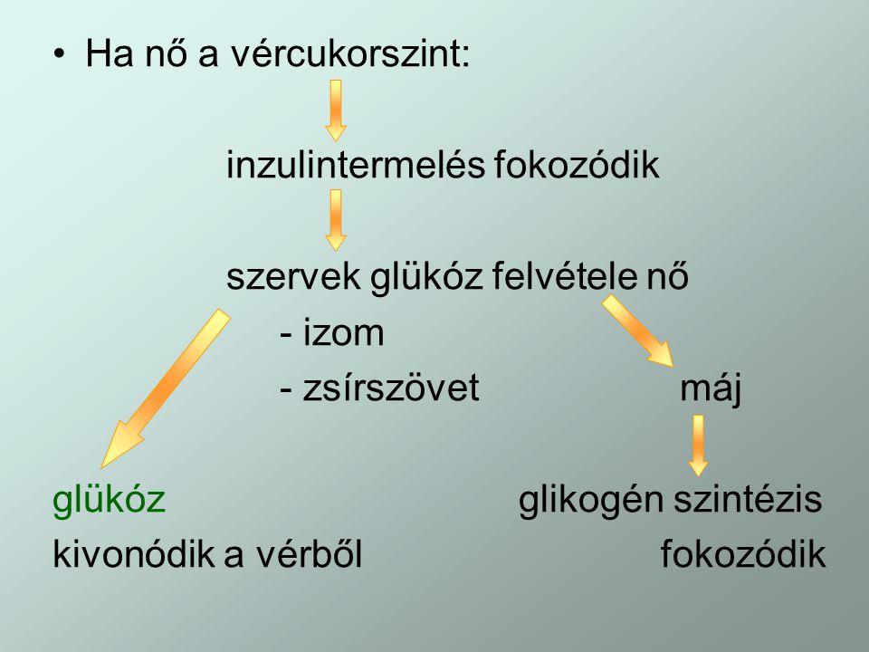 Ha nő a vércukorszint: inzulintermelés fokozódik. szervek glükóz felvétele nő. - izom. - zsírszövet máj.