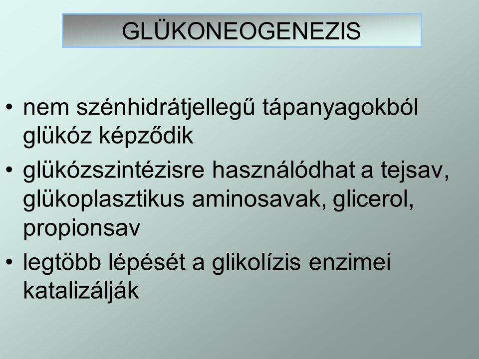 GLÜKONEOGENEZIS nem szénhidrátjellegű tápanyagokból glükóz képződik.