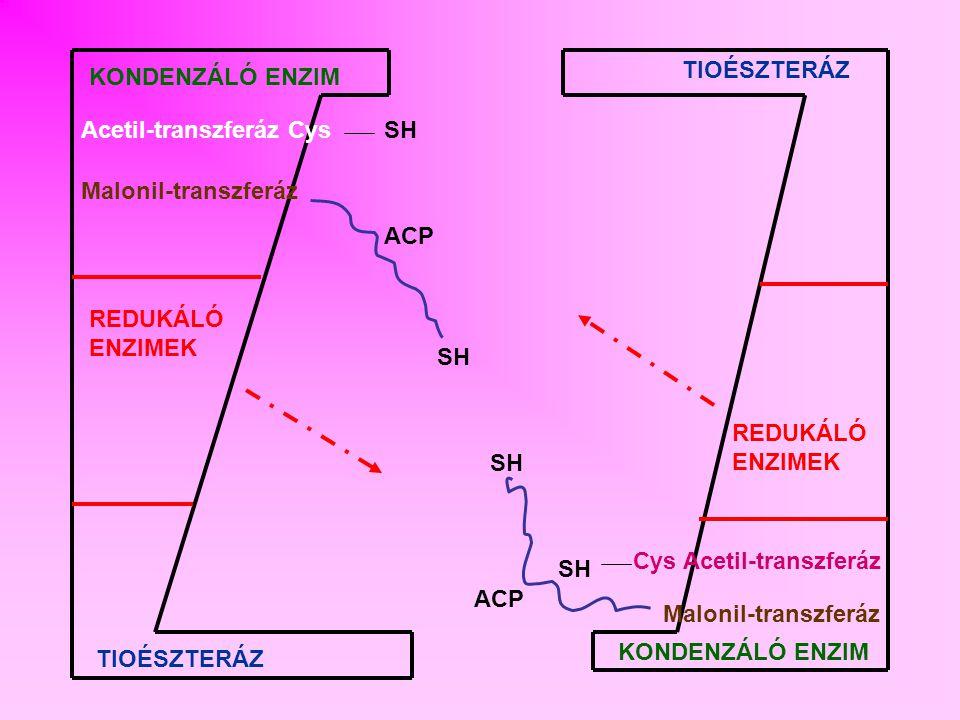 TIOÉSZTERÁZ KONDENZÁLÓ ENZIM. Acetil-transzferáz Cys. SH. Malonil-transzferáz. ACP. REDUKÁLÓ ENZIMEK.