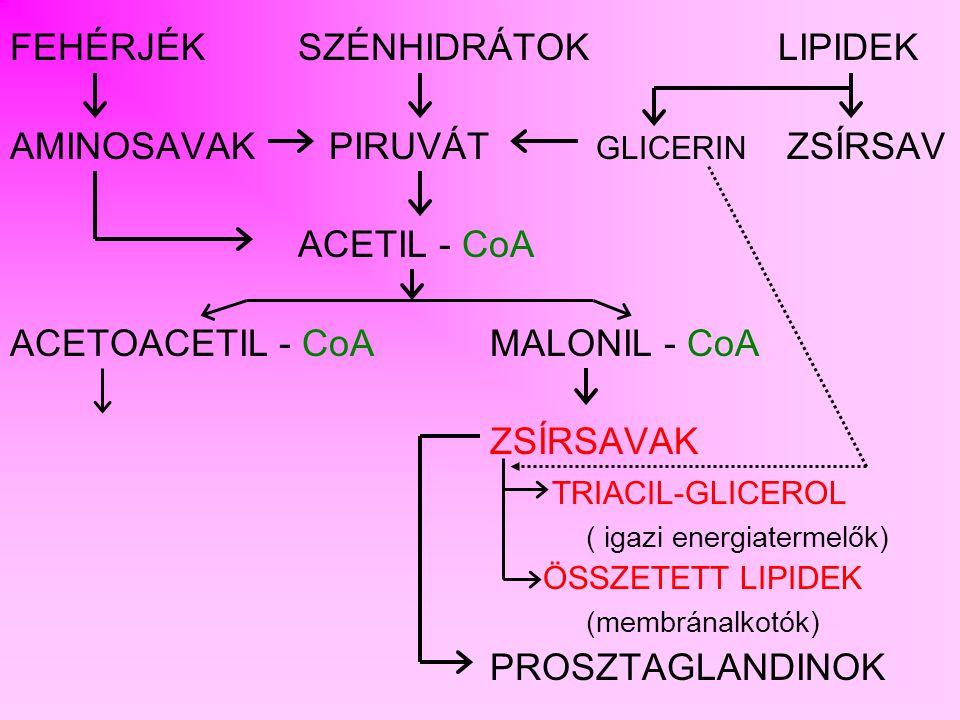 FEHÉRJÉK SZÉNHIDRÁTOK LIPIDEK AMINOSAVAK PIRUVÁT GLICERIN ZSÍRSAV