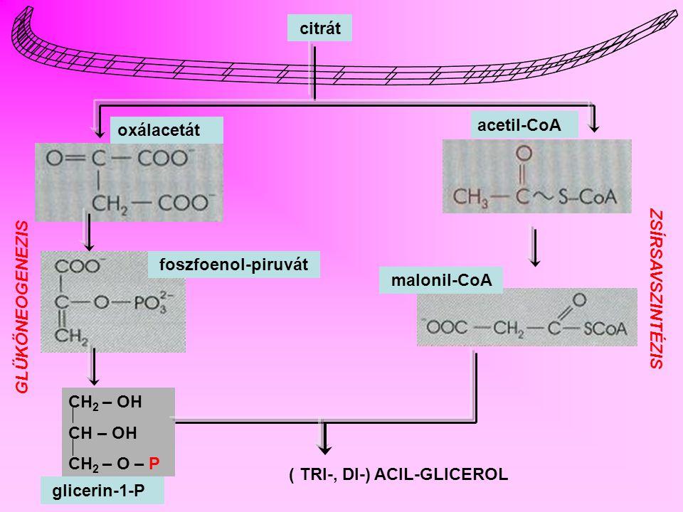 citrát acetil-CoA. oxálacetát. foszfoenol-piruvát. malonil-CoA. ZSÍRSAVSZINTÉZIS. GLÜKÖNEOGENEZIS.