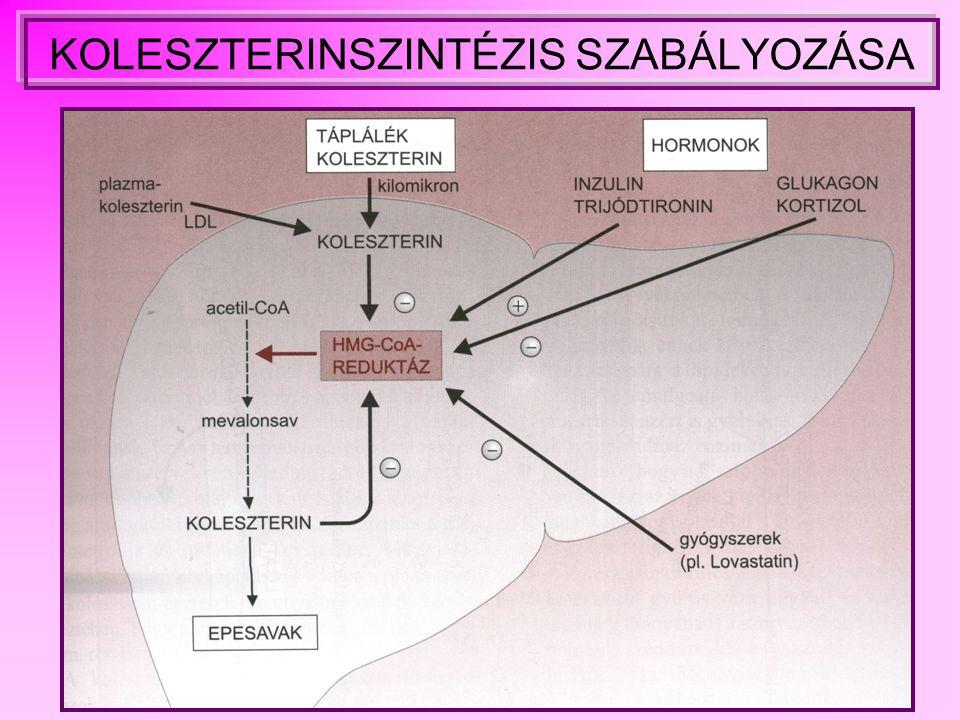KOLESZTERINSZINTÉZIS SZABÁLYOZÁSA