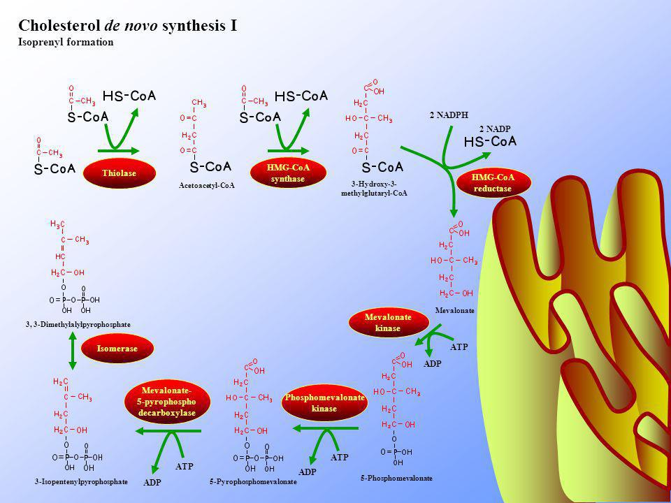 Cholesterol de novo synthesis I Isoprenyl formation