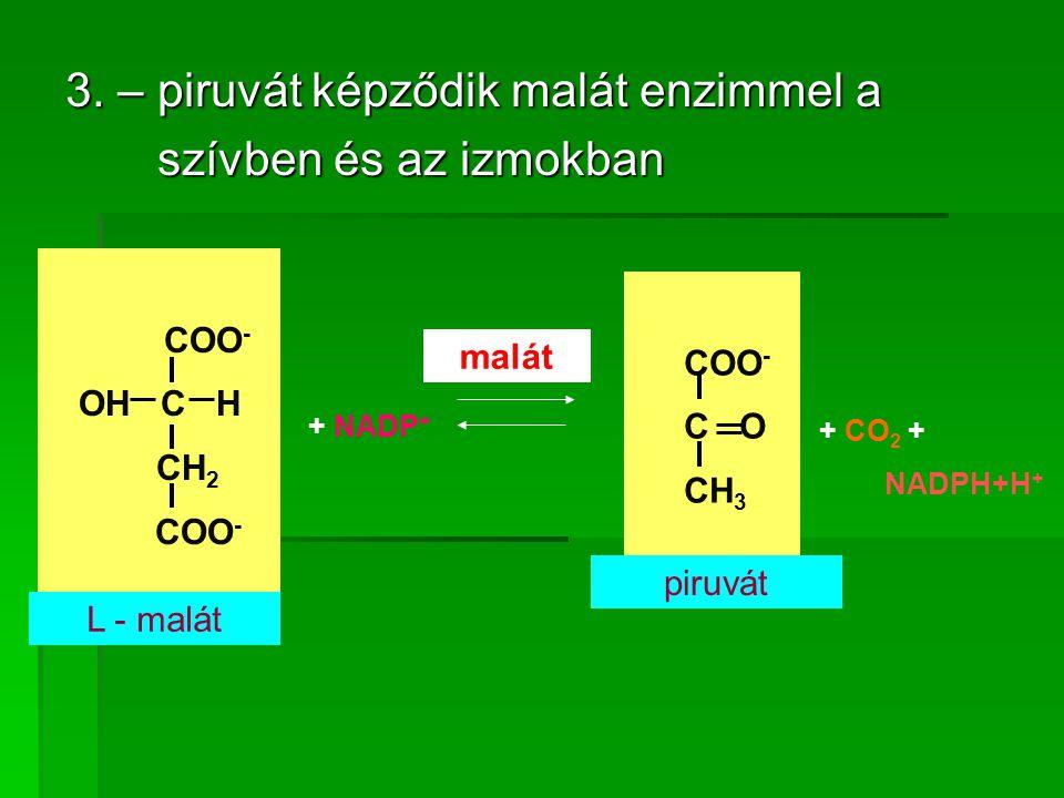 3. – piruvát képződik malát enzimmel a szívben és az izmokban