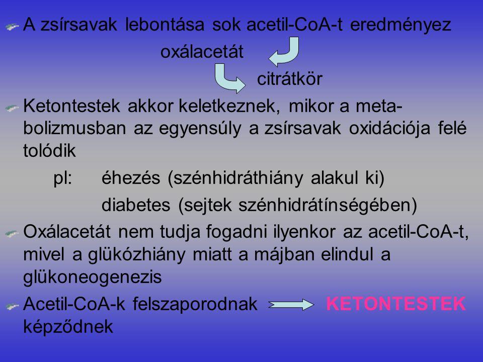 A zsírsavak lebontása sok acetil-CoA-t eredményez