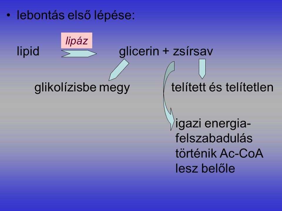 lipid glicerin + zsírsav glikolízisbe megy telített és telítetlen