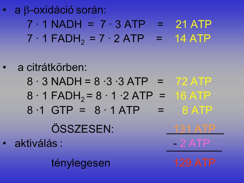 a -oxidáció során: 7 · 1 NADH = 7 · 3 ATP = 21 ATP. 7 · 1 FADH2 = 7 · 2 ATP = 14 ATP.