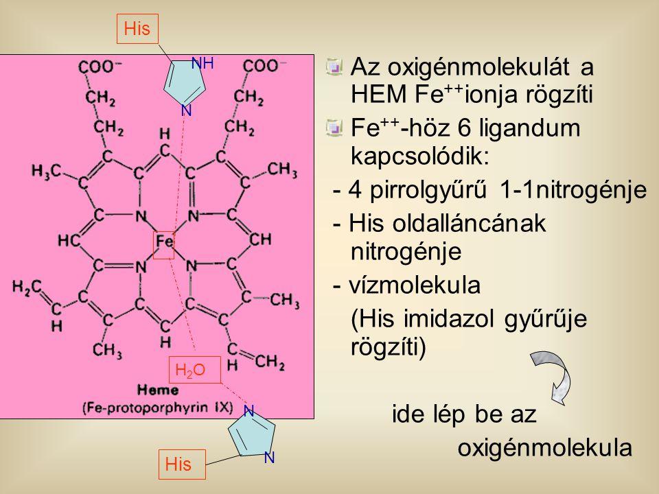 Az oxigénmolekulát a HEM Fe++ionja rögzíti