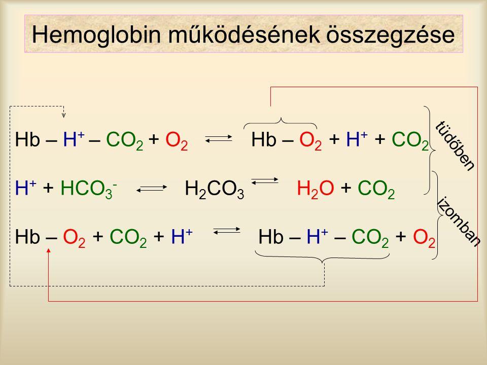 Hemoglobin működésének összegzése
